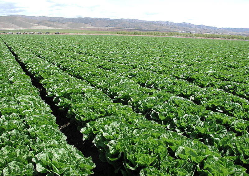 No Cause For Concern On Safety Of California Lettuce Greens Packer