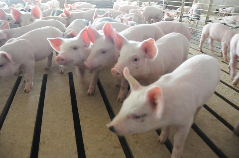 Piglets_pigs_baby swine (71)