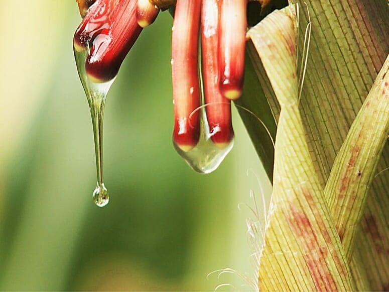 Nitrogen Fixing Corn